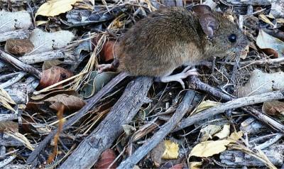 Ratón colilargo